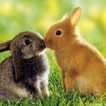 Ferme iepuri