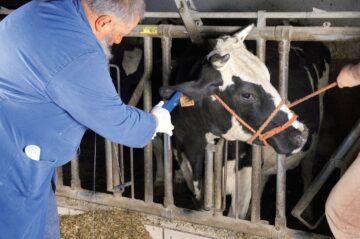 Crotaliere bovine